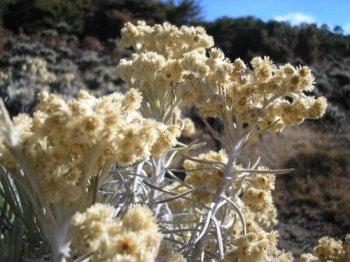 [Image: edelweiss.jpg]